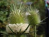 Dipsacus laciniatus flowerhead