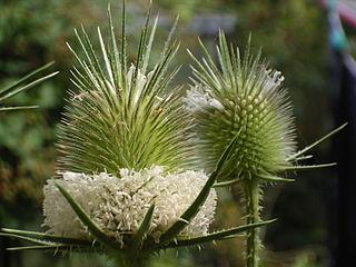 <i>Dipsacus laciniatus</i> species of plant