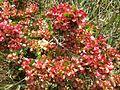 Dodonaea viscosa (4798297006).jpg