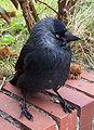 Dohle (Corvus monedula).jpg