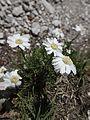 Dolomiten-Schafgarbe (Achillea oxyloba) - Innerkofler-De-Luca-Klettersteig, Sextener Dolomiten (9801262553).jpg