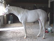 All-white dominant white horse with pink skin, brown eyes, and white hooves.