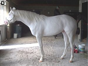 Leucism - This white horse owes its colouring to a dominant allele (dominant white).