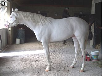 White (horse) - Dominant white Thoroughbred stallion