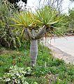 Dracaena draco Dragon Tree დრაკონის ხე.JPG