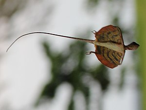 Draco (genus) - Draco taeniopterus in mid-glide, from Bulon Island, Thailand.