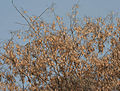 Dried Pods at Canopy W IMG 3534.jpg