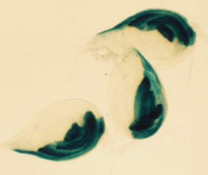 Imaginal disc - Three imaginal discs that will form legs. Taken from Drosophila melanogaster 3rd instar larva. The discs are stained with a hedgehog -protein specific staining, showing the protein's localization.
