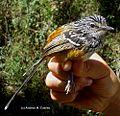 Drymophila striaticeps (Streak-headed Antbird) - male (7062565647).jpg