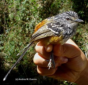 Streak-headed antbird - Image: Drymophila striaticeps (Streak headed Antbird) male (7062565647)