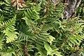 Dryopteris marginalis 10zz.jpg