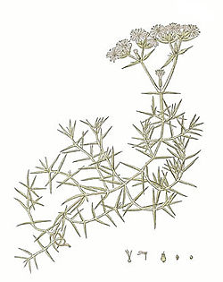 Drypis spinosa-illustration.jpg