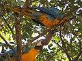 "Duas ""araras-canindé"" - Ara ararauna - se alimentando de frutos e sementes de jatobá - Hymenaea courbaril 17.jpg"