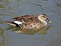 Duck, Spot Billed specifically Indian Spot Billed RWD1.jpg