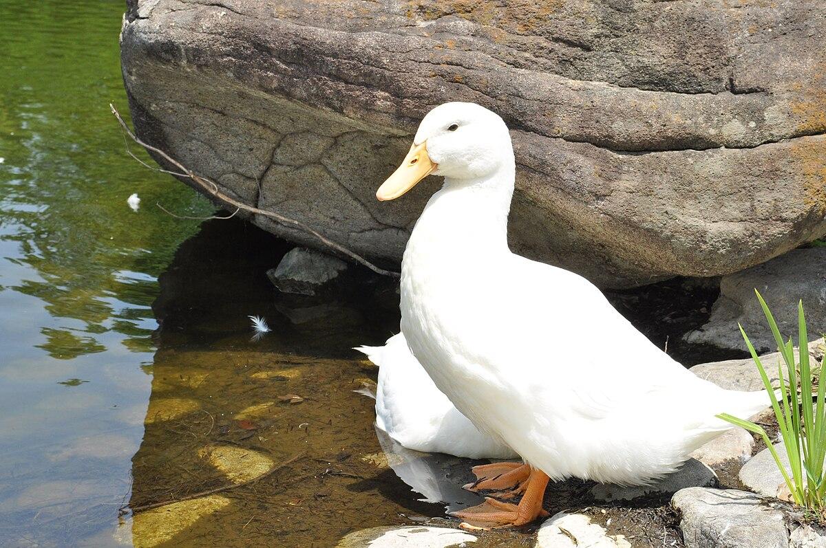 Duck0001.jpg