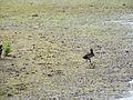 Duck (14379236802).jpg