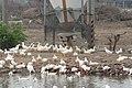 Duck farming at Huwei 20080520 13.jpg