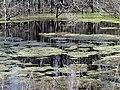 Duckweed Pee Dee NWR NC 5554 (16518725315).jpg