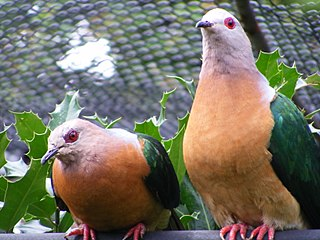 Imperial pigeon Genus of birds
