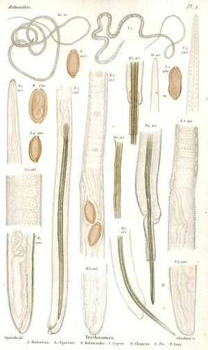Félix Dujardin - A plate from Histoire naturelle des helminthes ou vers intestinaux