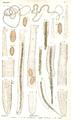 Dujardin 1845 Planche 2.png