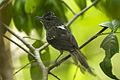Dusky-tailed Antbird - Intervales - Brazil S4E0381 (16615806467).jpg