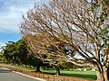 Dying Morton Bay Fig in Beaconsfield.jpg