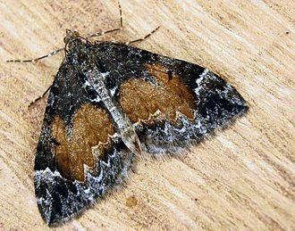 Common marbled carpet - Image: Dysstroma truncata 01