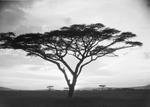 ETH-BIB-Schirmakazie in der Serengeti-Kilimanjaroflug 1929-30-LBS MH02-07-0488.tif