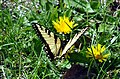 Easter Tiger Swallowtail (Papilio glaucus) (6957894272).jpg