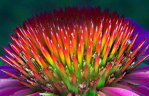 Echinacea - The spiny center of the head showing the paleae, from which the name derives