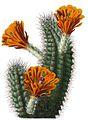 Echinocereus polyacanthus BlKakteenT66.jpg