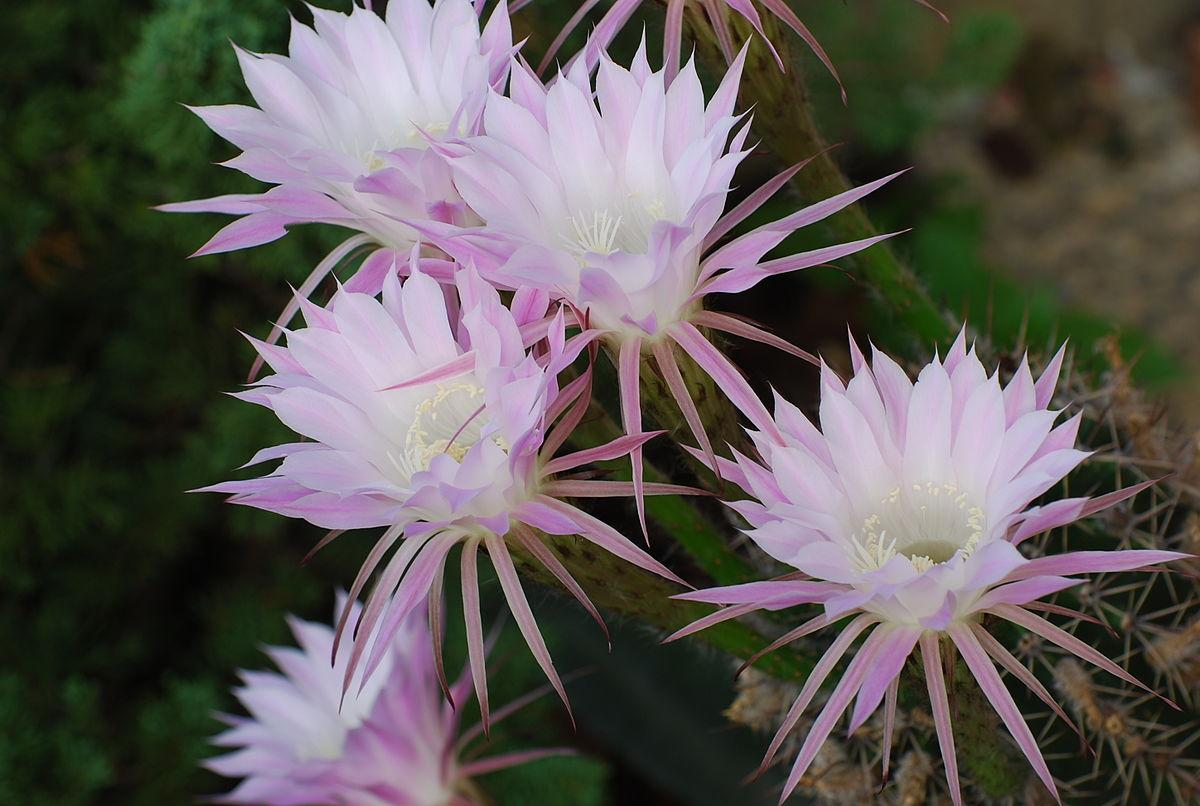 Echinopsis eyriesii - Wikimedia Commons