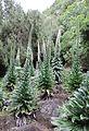 Echium simplex kz2.JPG