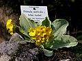 Echte Aurikel, Primula auricula.jpg