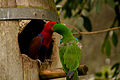 Eclectus roratus -Rainforestation Nature Park, Kuranda, North Queensland, Australia -pair-8a.jpg