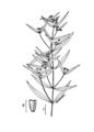 Eclipta prostrata-linedrawing2.png