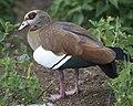 Egyptian Goose (Alopochen aegyptiaca), Kirstenbosch.jpg