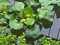 Eichhornia crassipes - Kew 1.jpg