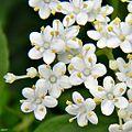 Elderberry (Sambucus canadensis) (6222073617).jpg