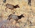 Elk (16554864045).jpg