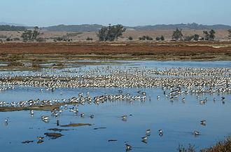 Elkhorn Slough National Estuarine Research Reserve - Image: Elkhorn Slough marsh birds