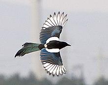 Pica Pica Wikipedia La Enciclopedia Libre