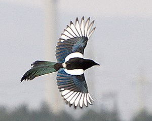 Eurasian magpie - In flight