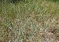 Elymus repens subsp. caesius kz01.jpg