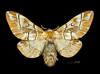 Endromis - Image: Endromis versicolora MHNT.CUT.2011.0.446. female.Allier (Hautes Pyrénées) Dos