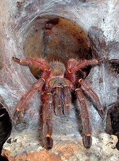 <i>Ephebopus</i> Genus of spiders