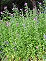 Epilobium hirsutum Habitus 2009-7-28 SierraNevada.jpg