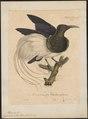 Epimachus albus - 1825-1834 - Print - Iconographia Zoologica - Special Collections University of Amsterdam - UBA01 IZ16100065.tif