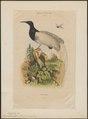 Epimachus albus - 1839 - Print - Iconographia Zoologica - Special Collections University of Amsterdam - UBA01 IZ16100083.tif